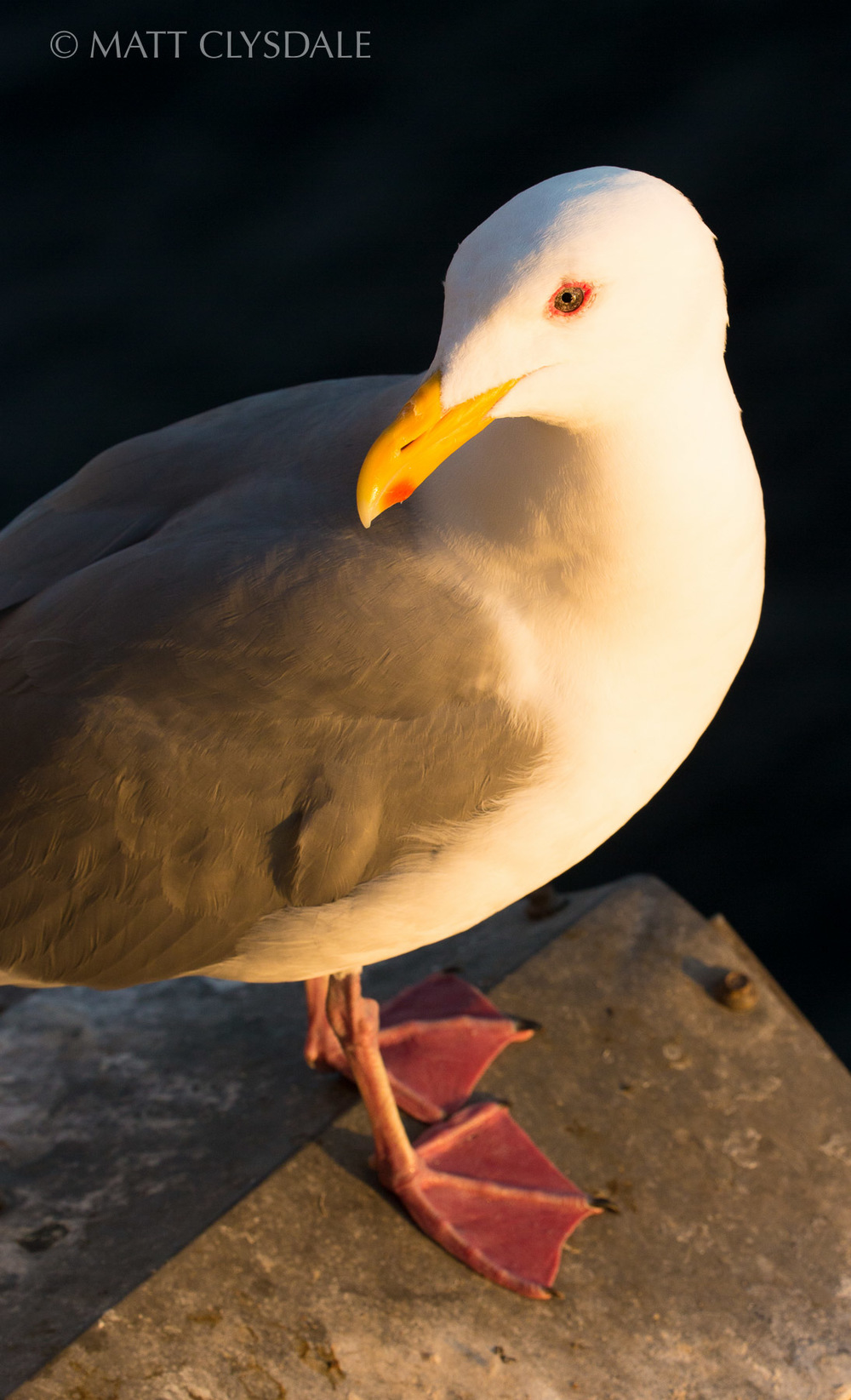 Puget Sound Sunset Gull