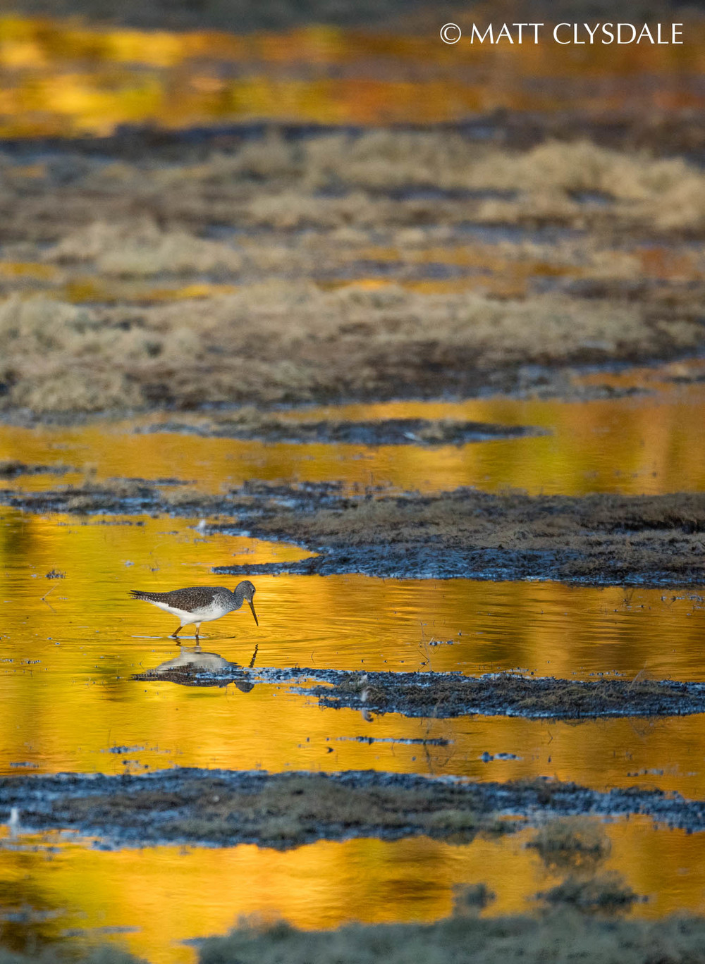 Greater Yellowlegs - Wolf Lake Fish Hatchery, Kalamazoo, MI