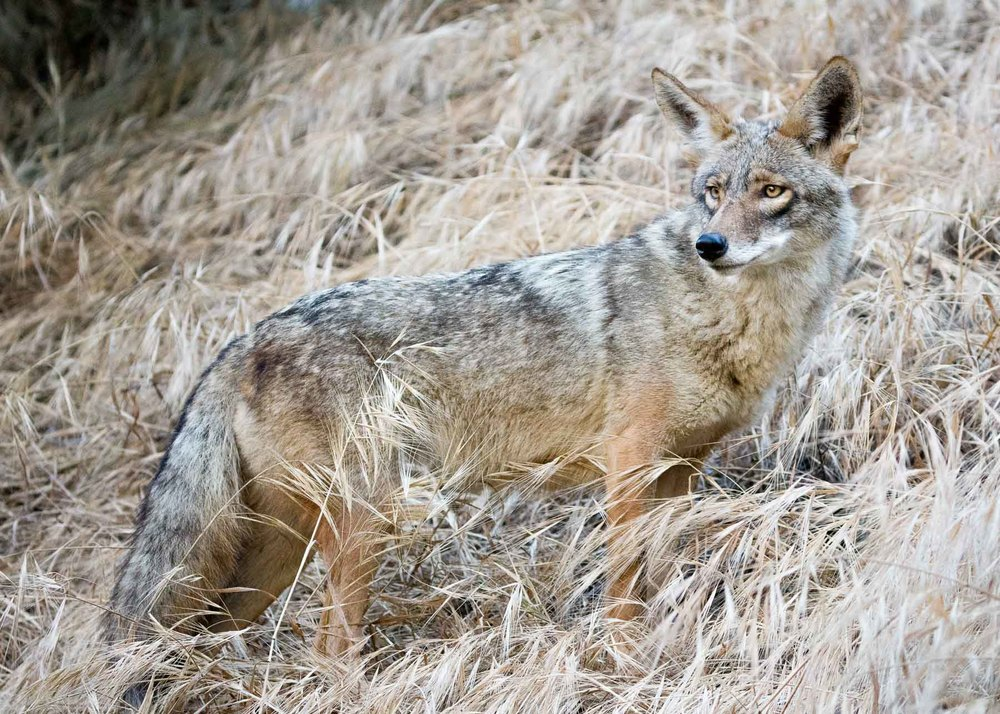 Here he is looking back on the people in the park. I'm guessing the coyotes eat both park litter/hand-outs, as well as typical prey like rodents and rabbits.