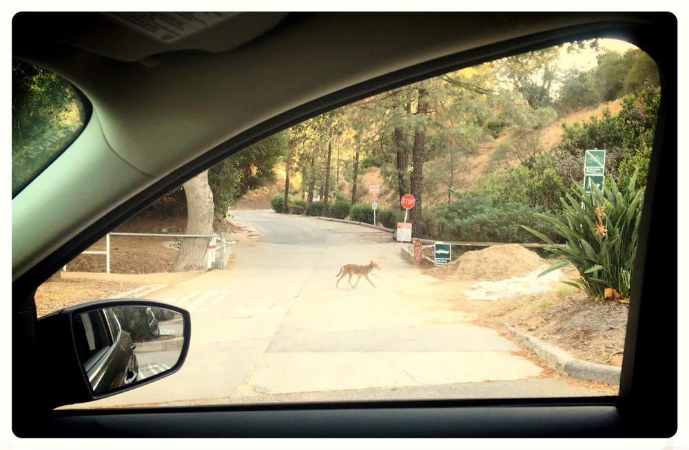 My first fleeting glance of a coyote, casually walking down the path, tipped me off to how tame the coyote are in Griffith Park.