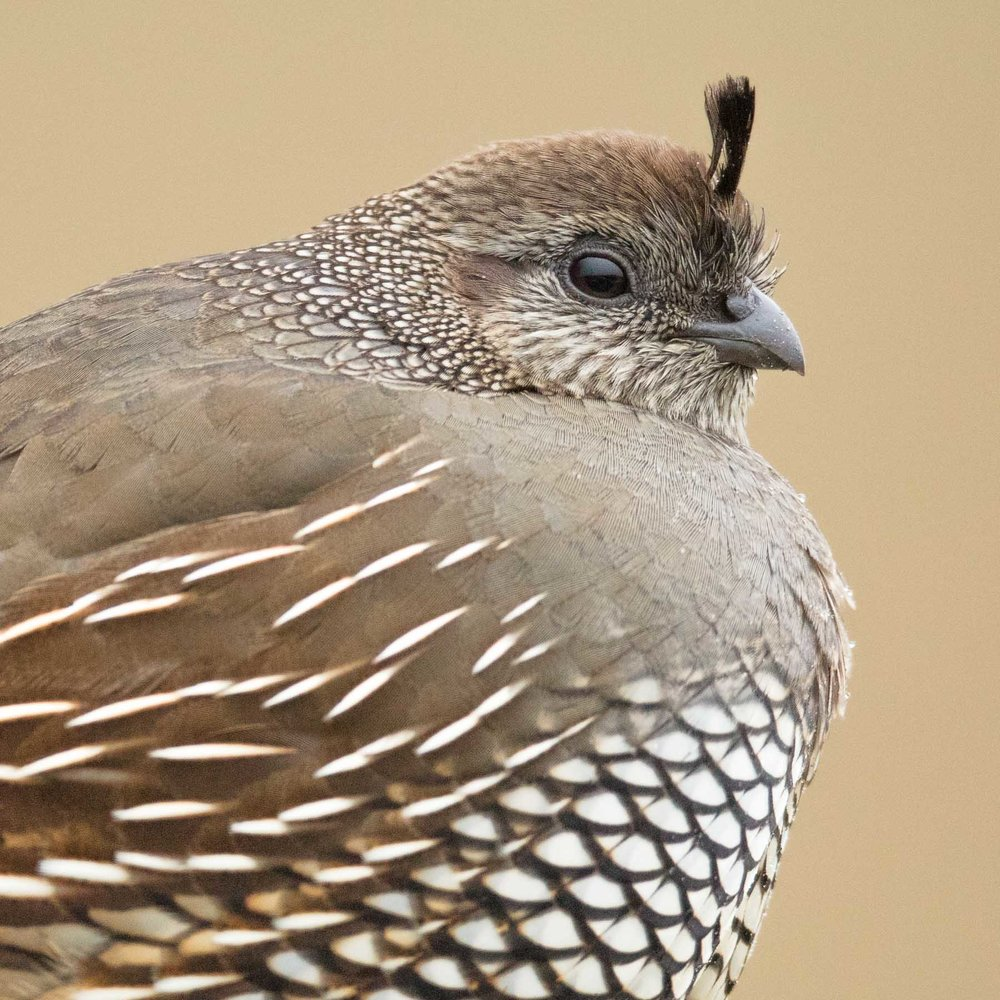 The Female California Quail, often overlooked because of the showier male