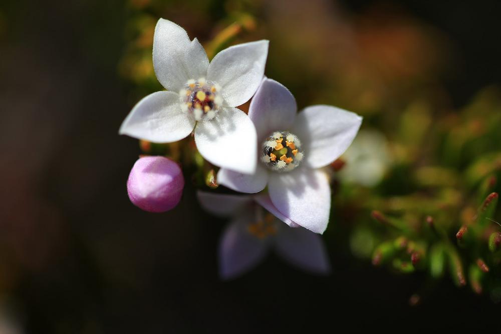 Boronia citriodora, Lemon-scented Boronia, or Lemon Thyme.jpg