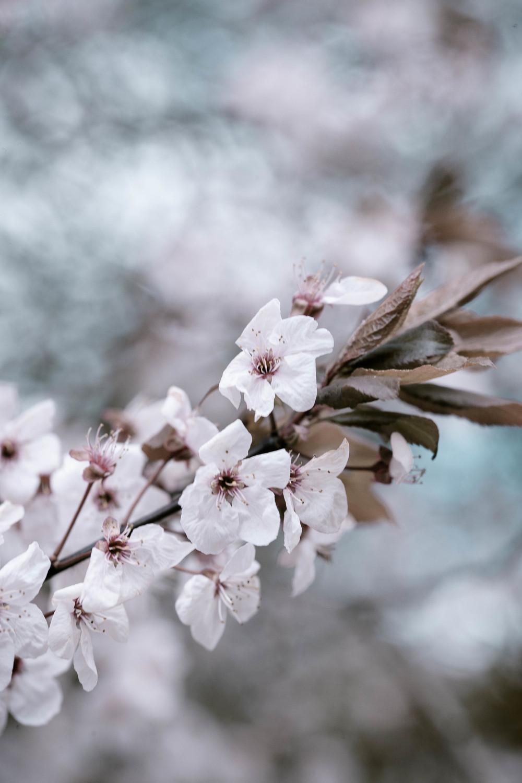 Tassie Spring_060912_0447blossoms.jpg