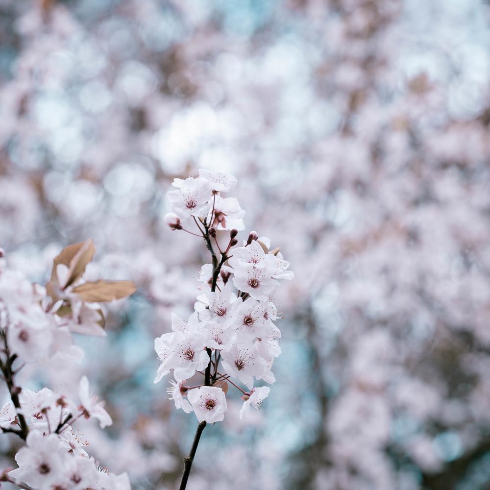Tassie Spring_060912_0451blossoms.jpg