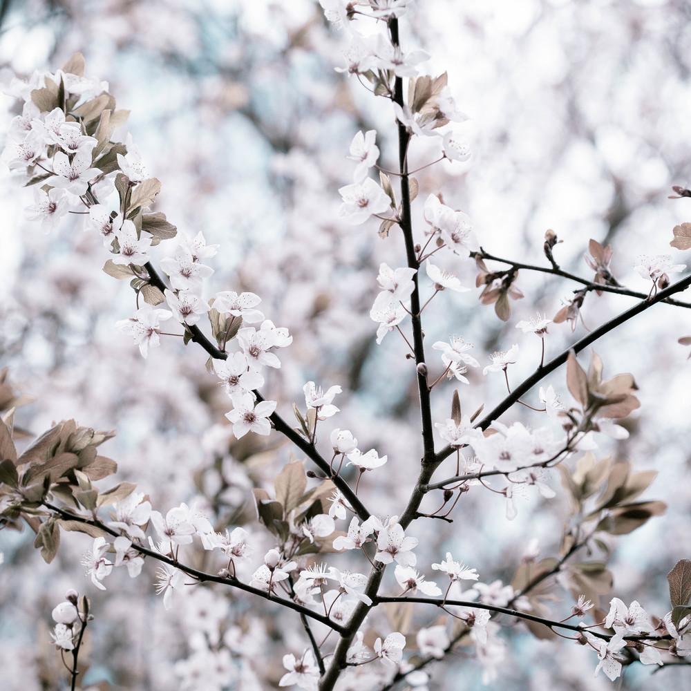 Tassie Spring_060912_0452blossoms.jpg