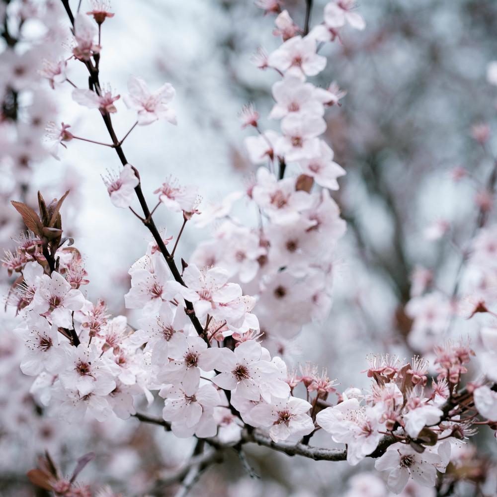 Tassie Spring_060912_0509blossoms.jpg