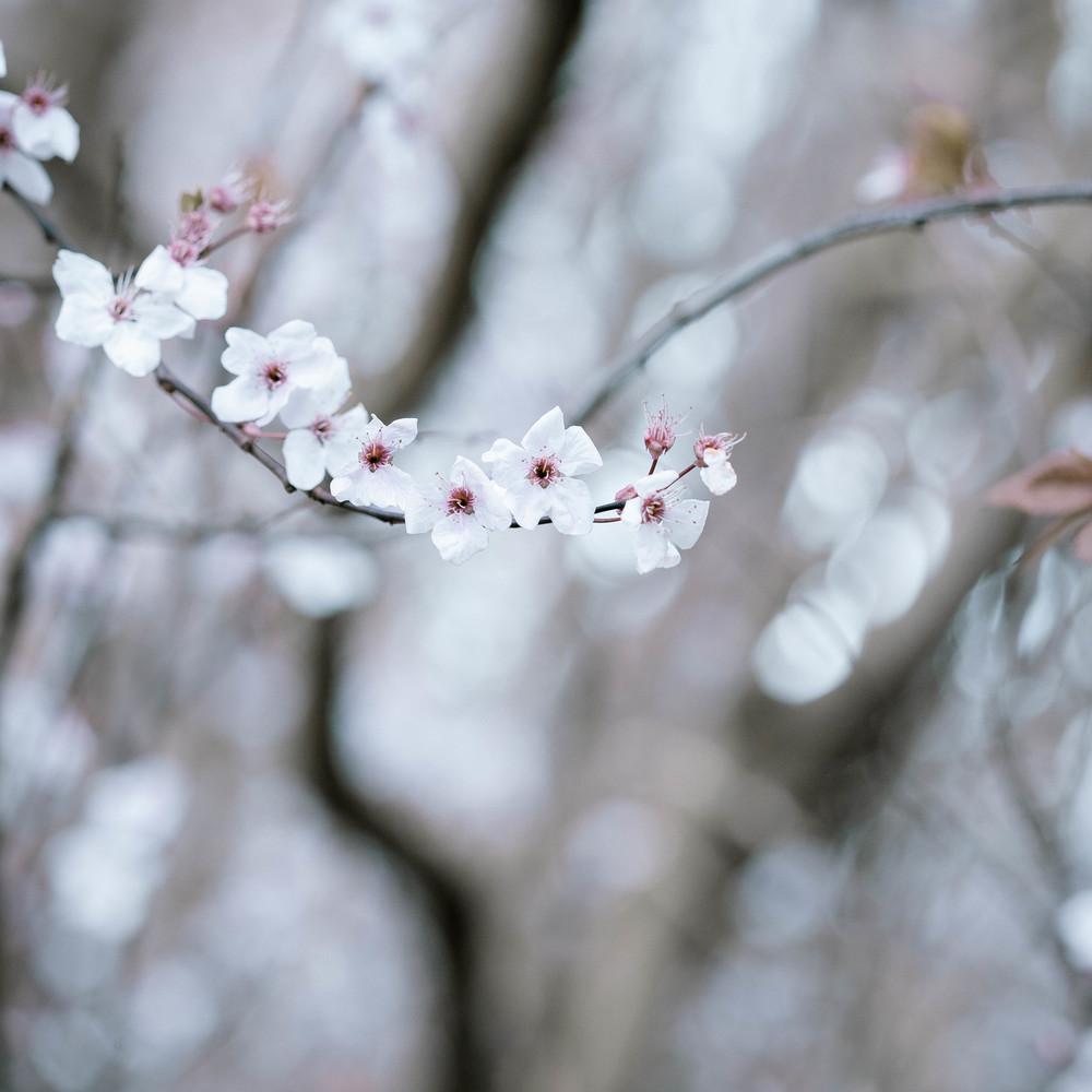 Tassie Spring_060912_0515blossoms.jpg