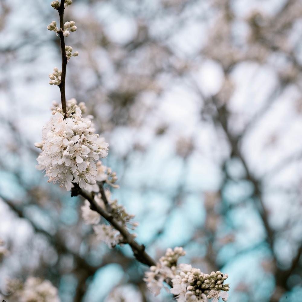 Tassie Spring_060912_0544blossoms.jpg