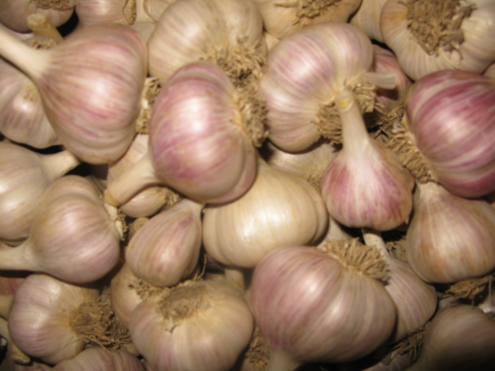 Ontario garlic courtesy of Toronto Garlic Festival