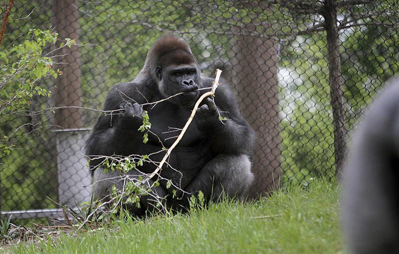 Como Zoo Gorilla Forest Exhibit