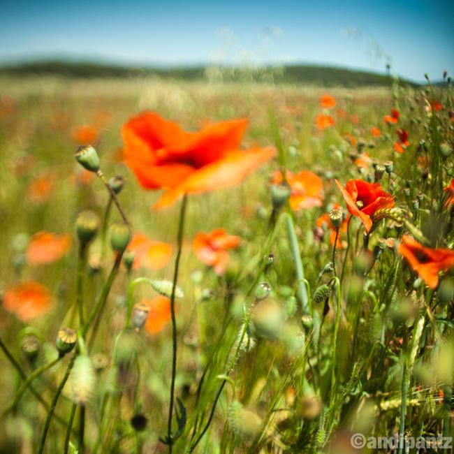 poppies1.jpg