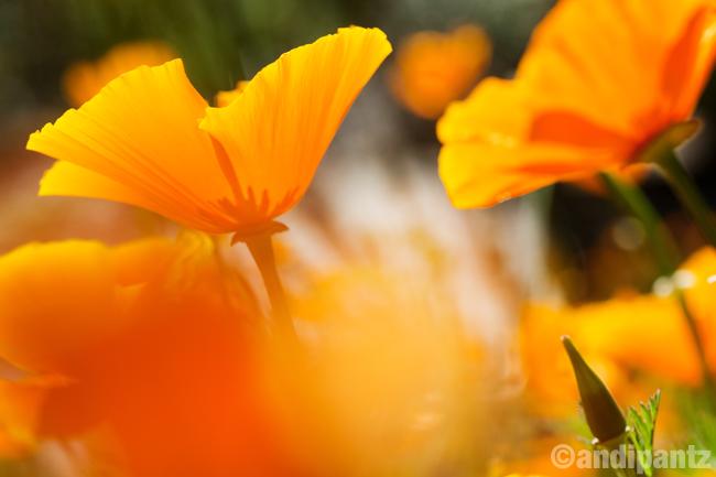poppies5.jpg