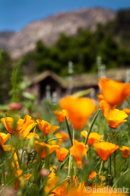 poppies1-1.jpg