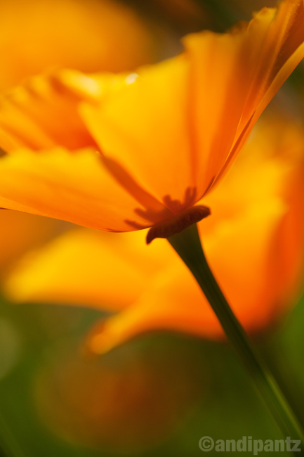 poppies3.jpg