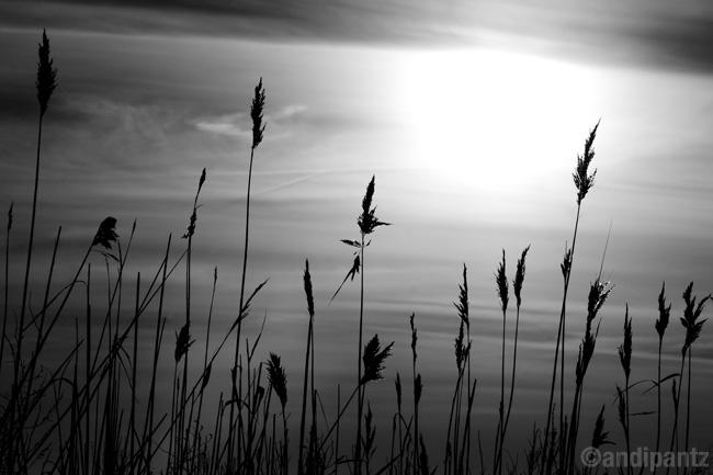 sunsetreeds.jpg
