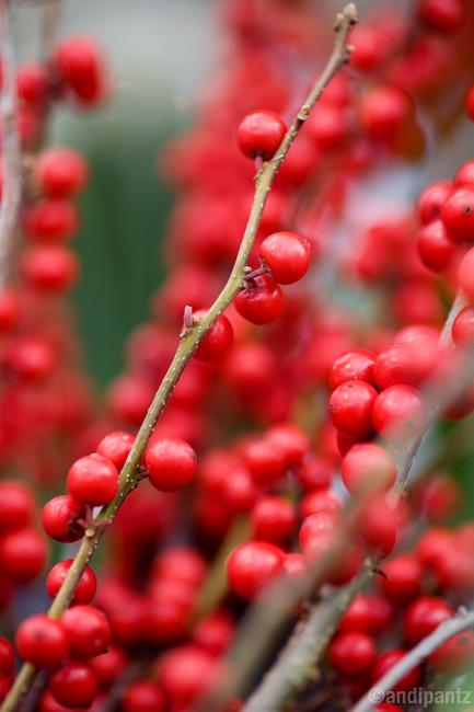 winterberry.jpg