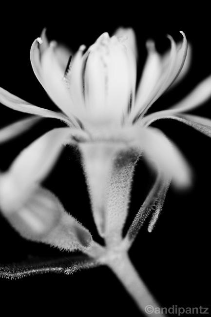 bwflower2.jpg