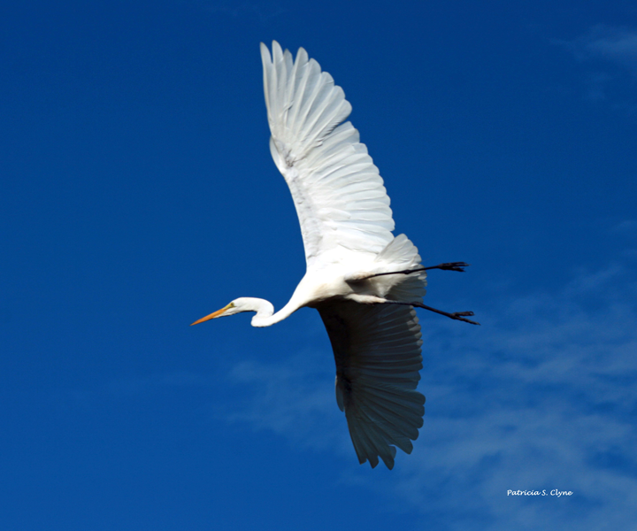 White Egret in Flight, Soaring on a Beautiful Day