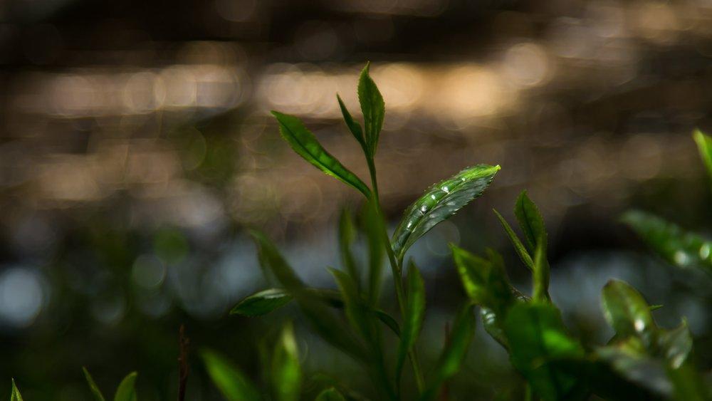 Focus+on+Matcha+tea+leaves+in+tea+farms+.jpg