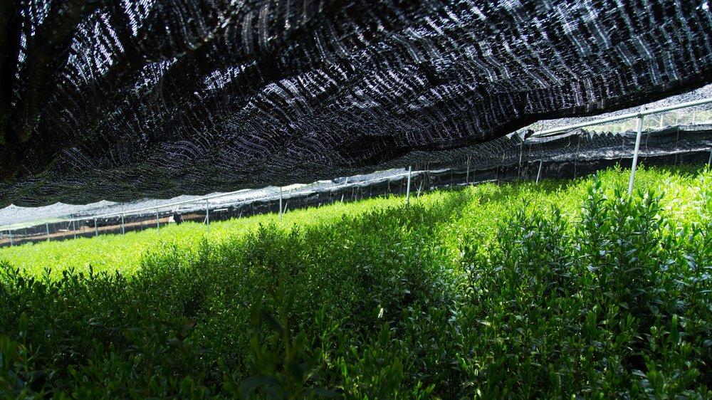 Tea+farms+for+Matcha.jpg