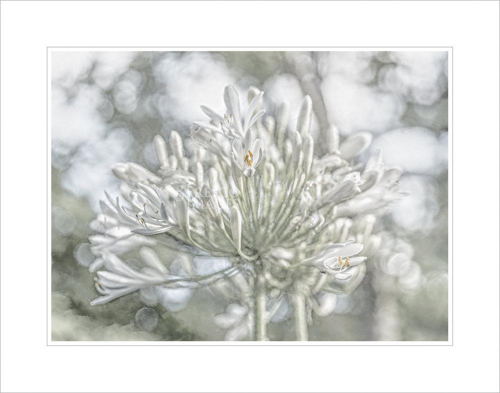 'Agapanthus #2- Bianco'