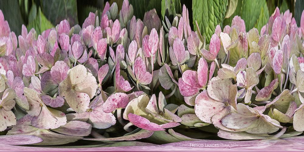 'Hydrangea'(Waltz of the Flowers)
