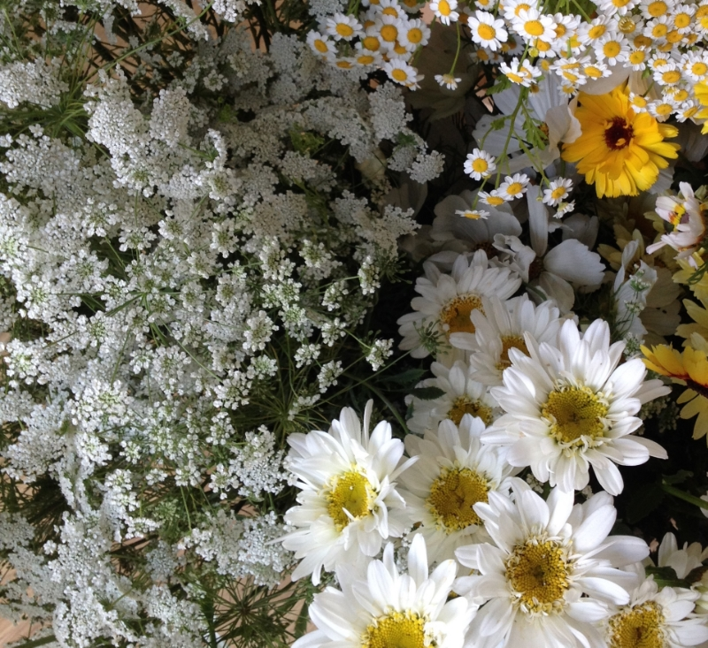 ammi majus with feverfew, calendula