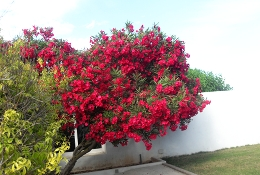 blooming Bougainvilla tree at the Clubhouse.