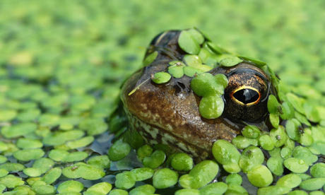 A-common-frog.-001.jpg