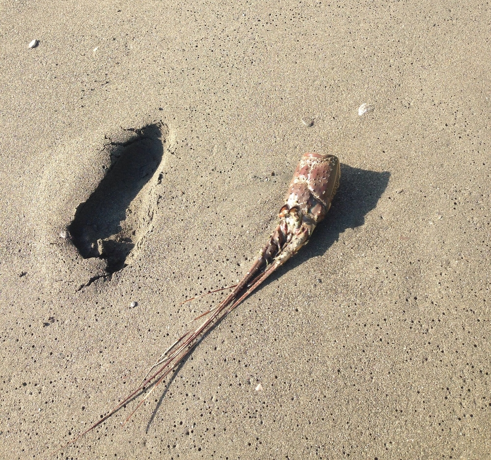 Oh yeah, our beach walks sometimes get a little weird when we come across sea creature exoskeletons. That's a footprint right next to it... Yikes.