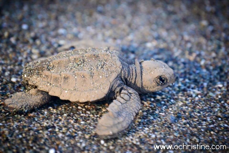 costa-rica-baby-olive-turtle-olivia-christine-perez-ochristine.jpg