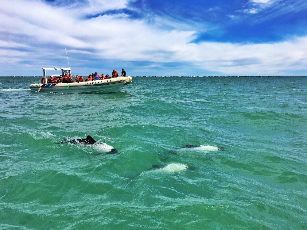 dolphin-watching-rawson-trelew-argentina-ochristine