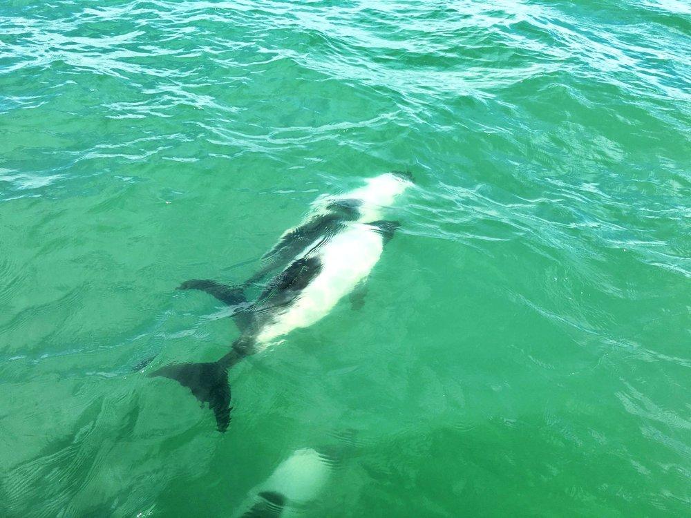 commerson-dolphin-watching-rawson-trelew-argentina-ochristine