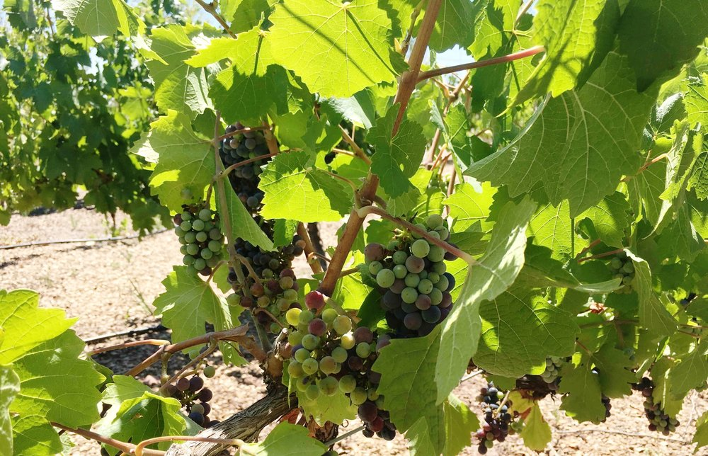 red-wine-grapes-sinfin-mendoza-ochristine