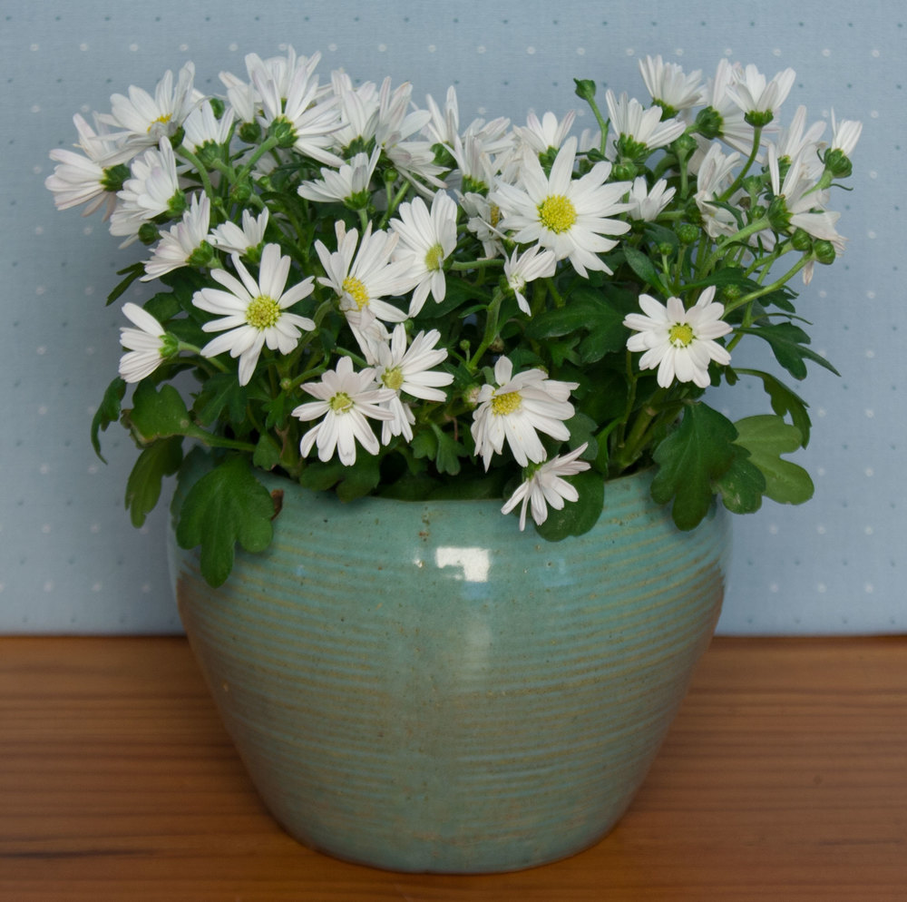 Pot of Daisies