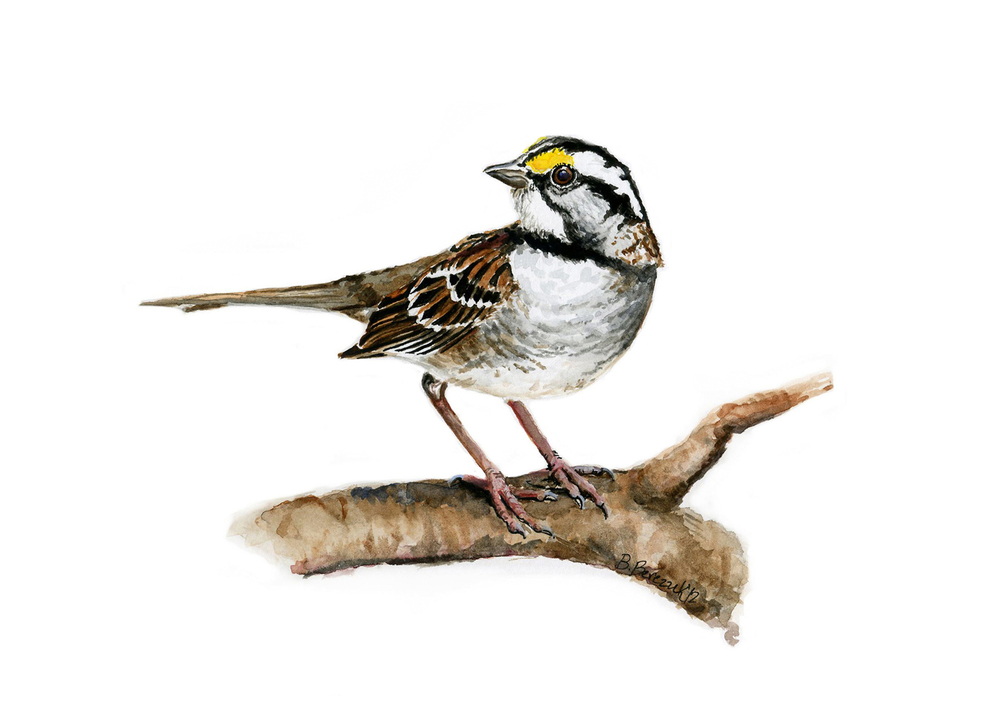 White-Throated Sparrow,  watercolor