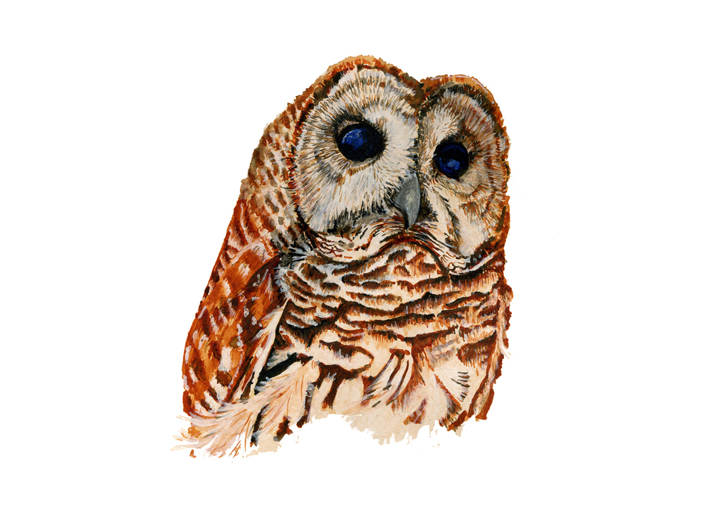 Barred Owl,   gouache