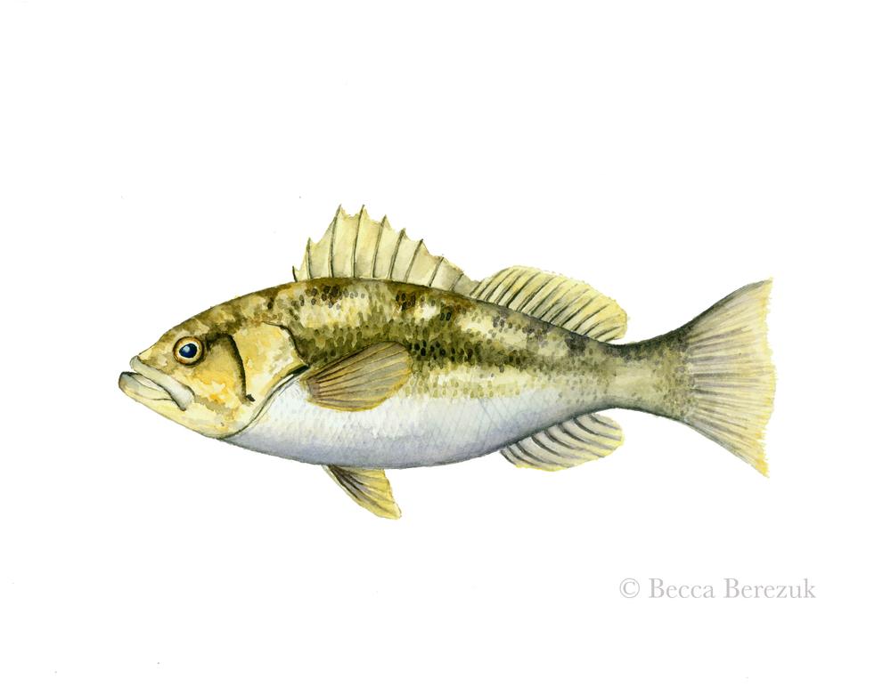 Paralabrax clathratus , watercolor