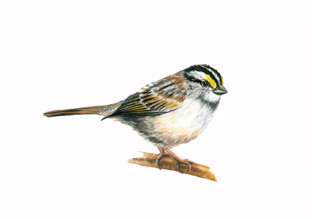 White-Throated Sparrow,  colored pencil on Duralene.