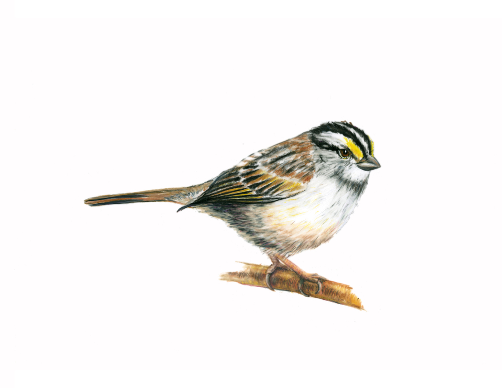 White-throated Sparrow,  colored pencil