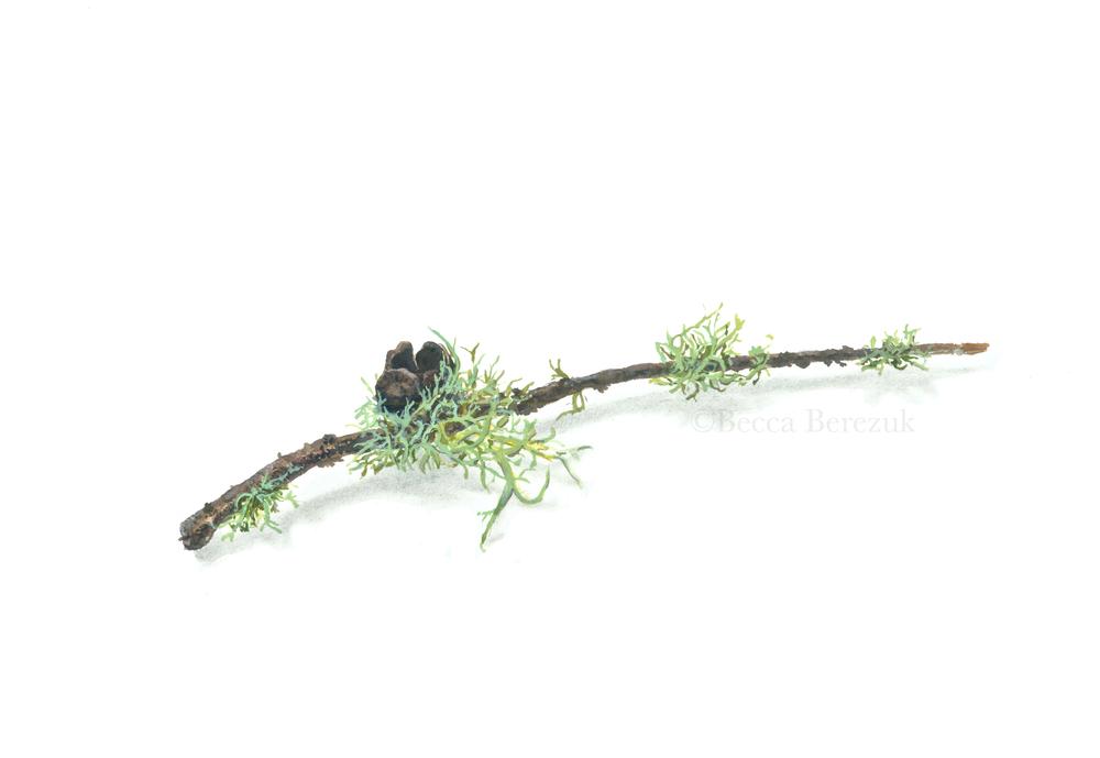 Evernia prunastri ,    Watercolor and gouache