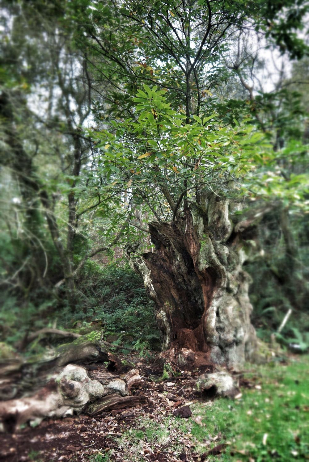 An ancient chestnut tree in the grounds