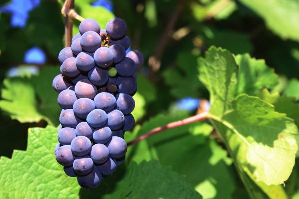 Pinot-Noir.jpg