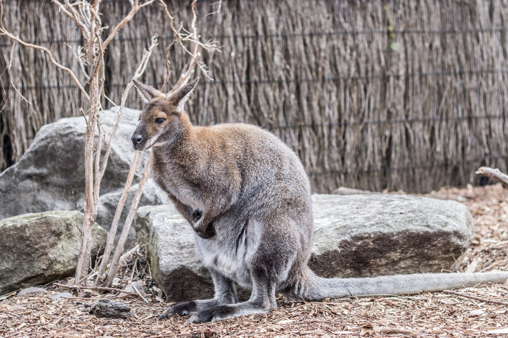 It was around 60 degrees and windy, and this wallaby was as cold as we were.