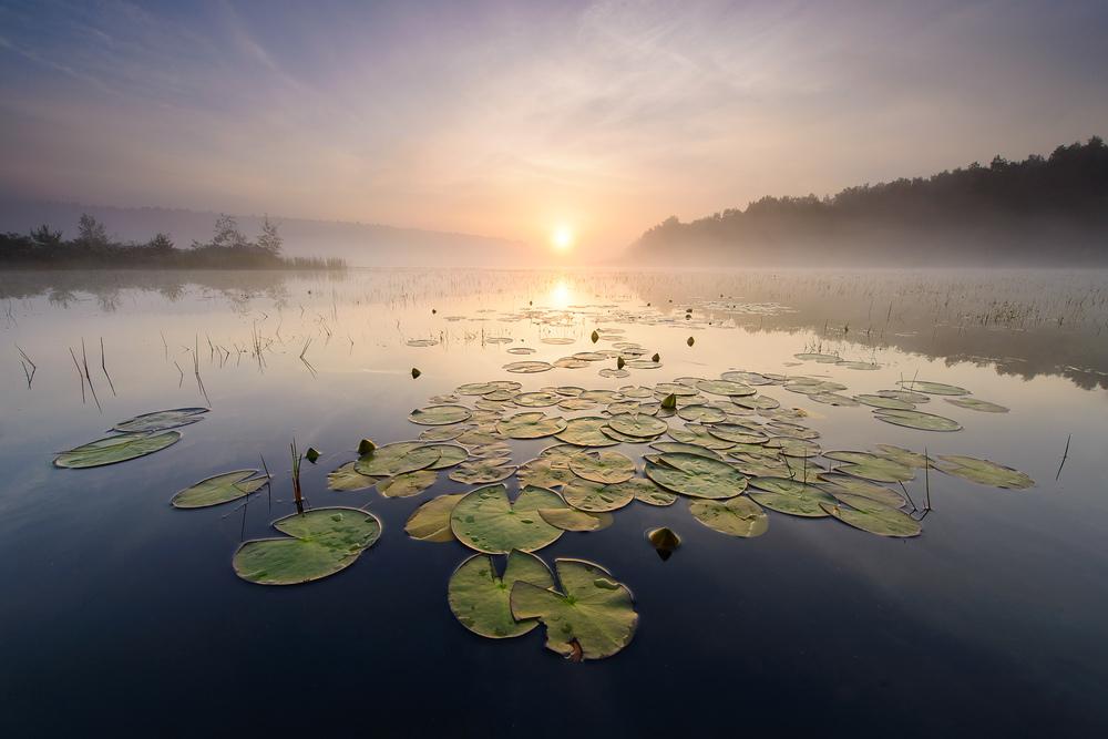 Bart Heirweg Water violet, Drongen, Belgium