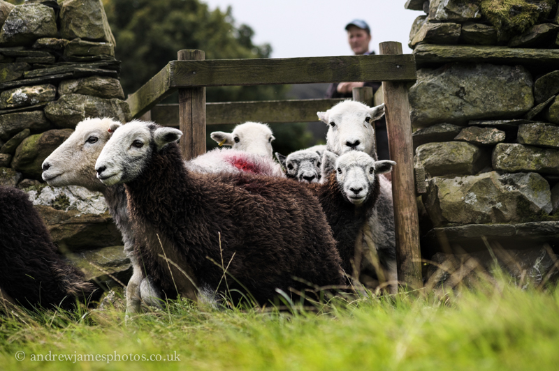 Tom and Moss bring the herdwicks through a small gap in the wall.