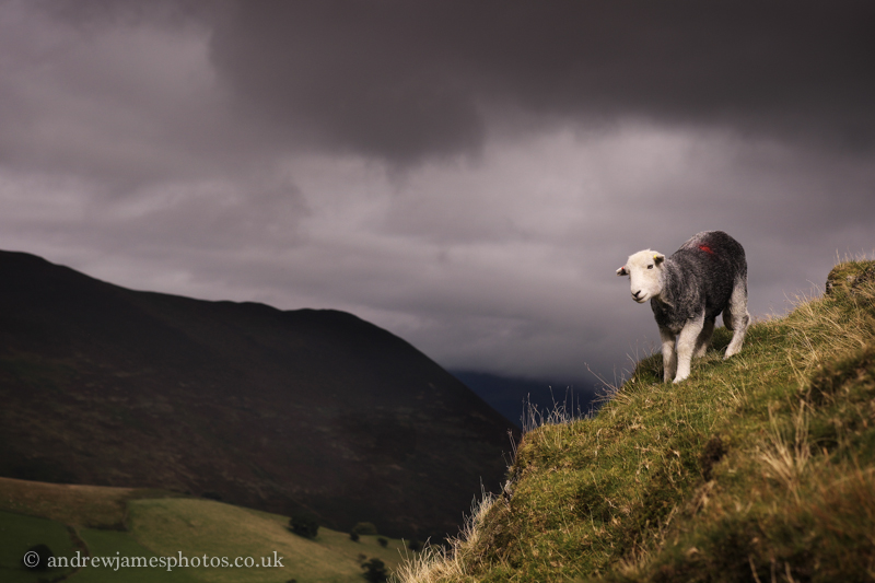 A lone herdwick up on the hills surrounding the farm.