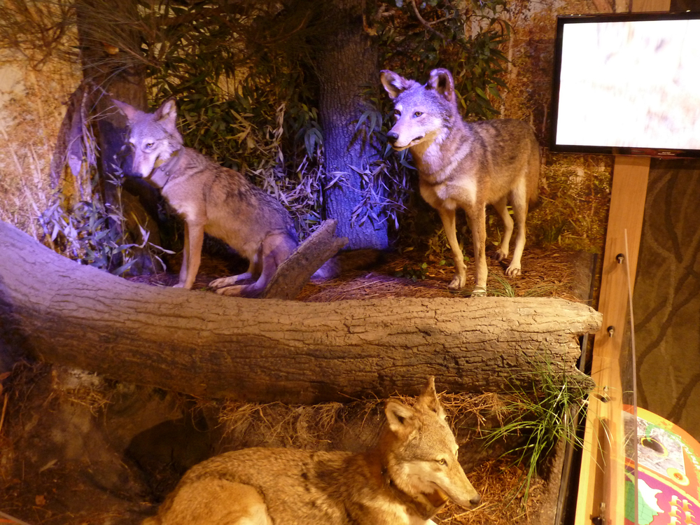 A dramatically lit diorama presents the plight of the endangered red wolf. Large consoles feature a variety of interactives, while a hidden den of pups is illuminated with the touch of a button.