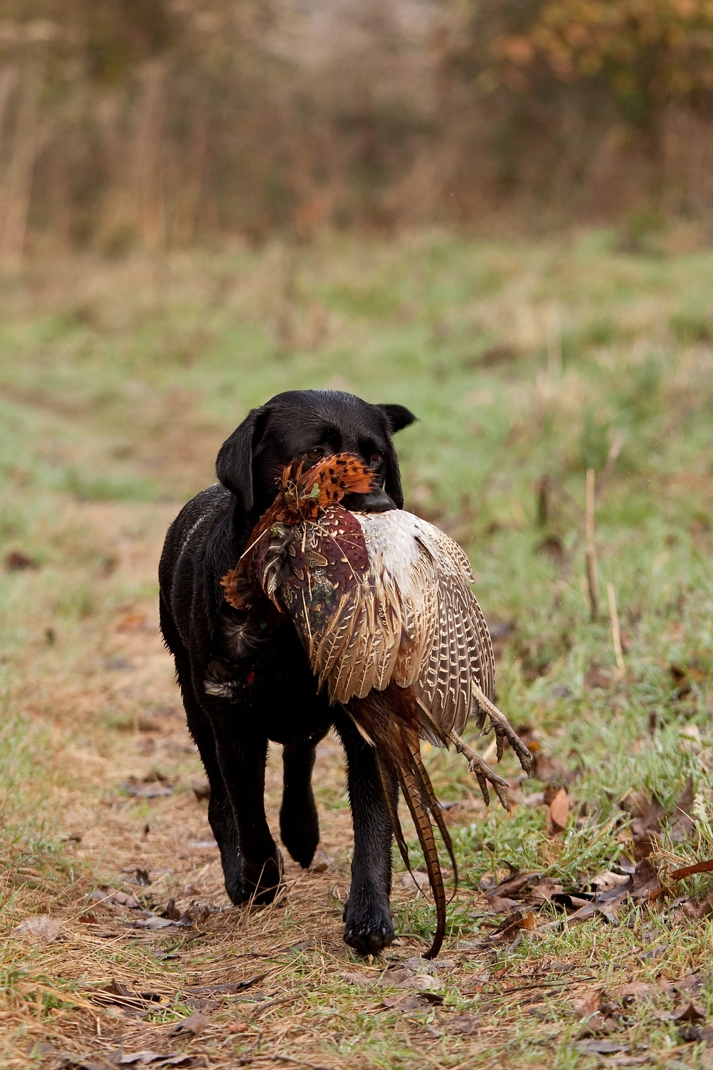 bigstock-Hunting-Dog-Retrieving-A-Pheas-6417971.jpg