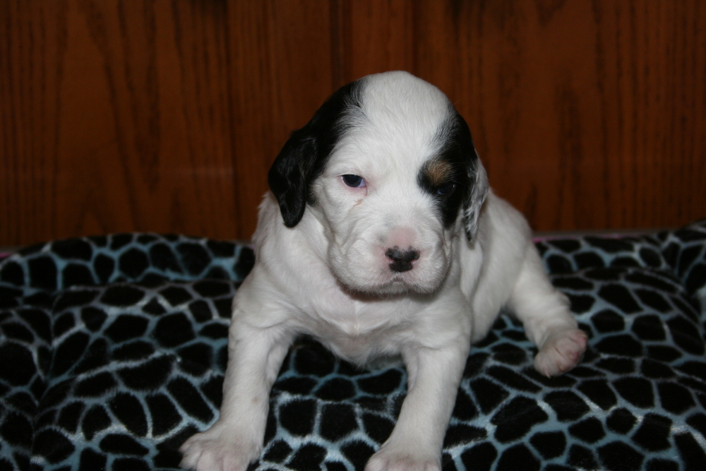 Puppy #2: Female